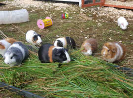 Cheshire and North Wales Guinea Pig Rescue