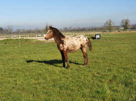 2020 filly to make approx 15.2hh