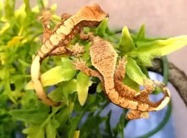 CB20 extreme harlequin crested gecko