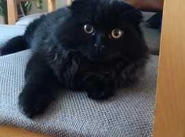 Scottish Fold Straight Ears Kittens