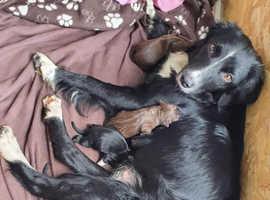 Kelpie x puppies