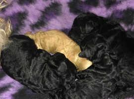 Miniature poodles girls