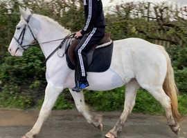 15.2 Irish type project mare