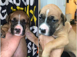 xxl Bully puppys x BK presa mix