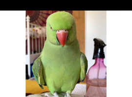 Indian ring nack talking parrot