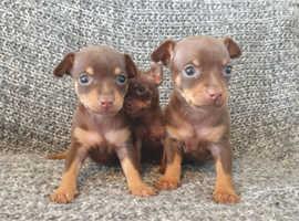 Miniature pinscher x chihuahua puppy