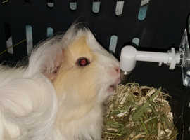 Beautiful, Friendly Tri Peruvian Guinea Pig Sow looking for a home