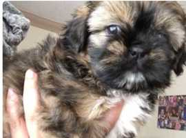 Beautiful girl shih tzu pups
