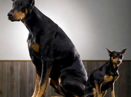 Stunning Female Munature Pinscher