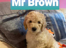 4 out of 7 left Multi Generation Miniature Labradoodles