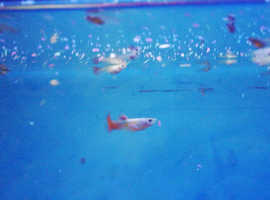 Guppy fry, guppies babies fish tropical