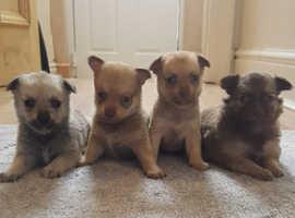 Beautiful pomchi pups