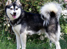 Cute Alaskan Puppy is Searching for a new home