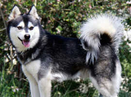 Alaskan klee require a new home
