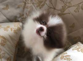 Chocolate parti boy Pomeranian