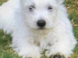 For sale 3 10 week old west highland terrier puppy's for sale