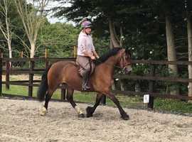 Stunning welsh D mare