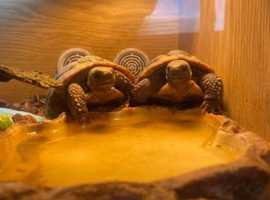 X2 Herman tortoise's
