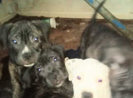 Four male staff x mastiff for sale