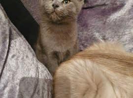 Stunning blue Scottish fold kitten