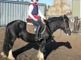 Super sweet cob gelding