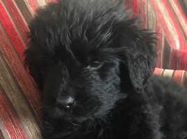 Pure Newfoundland puppy