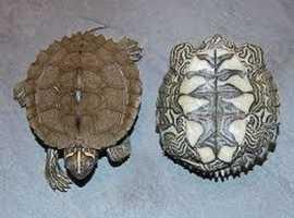 Mississippi map turtle exeter