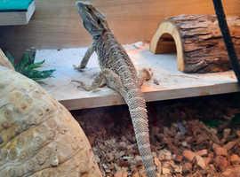 9 month Bearded Dragon