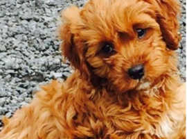 WANTED boy Cavapoo or similar,  Over one year, Nottinghamshire
