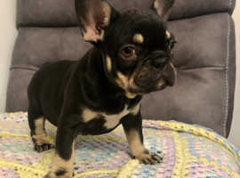 REDUCED LAST CHANCE PHENOMENAL FULLY SUITED QUAD CARRYING FRENCH BULLDOGS FOR SALE