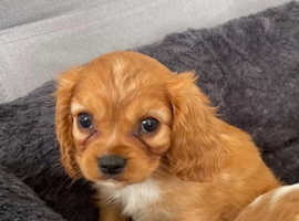 Stunning cavalier King Charles ready now
