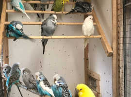 Budgies, baby, young and adults.