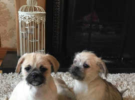 Pug/Shih Tzu puppies