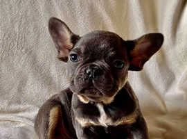 Adorable french bulldog pup