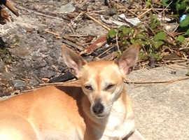 Chihuahua named lexi