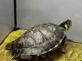 Rehousing a Yellow Bellied Slider YBS turtle, with 80l terrarium tank