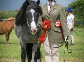 7 year old Blue Roan, Driving and Showing pony 12.2hh