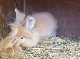 Mango and little Papaya the lionhead bunnies
