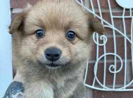 German Spitz Puppies