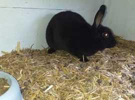 Mini cross Rex Black female Rabbit 3months old
