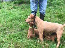 Red Lakeland pups