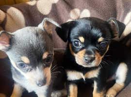 Chihuahuas puppues