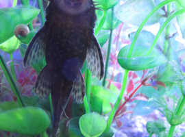 young standard plecos