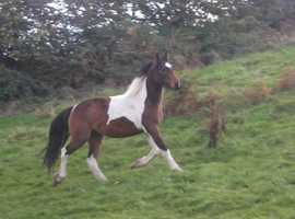 Very Pretty 3yr old Filly for Sale