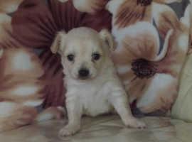 Beautifull chihuahua boy