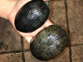 Turtle (Musk)