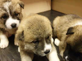 American Akita pups flead, wormed, chiped and vaccinated   6 American Akita cross pups for sale. They are 3/4 American Akita and 1/4 Boarder Collie. B