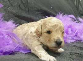 Purebred Toy Poodles Puppies