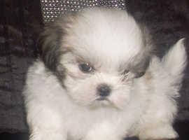 Beautiful Shih Tzu puppies - Ready Now