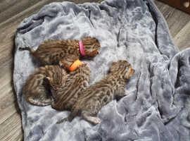 Bengal Kittens - Golden Rosetted